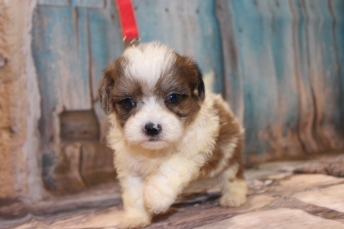 Stevie Nicks Female CKC Shihpoo $2000 Ready 3/14 HAS DEPOSIT MY NEW HOME JACKSONVILLE, FL 1lb 11 oz 5W2D Old