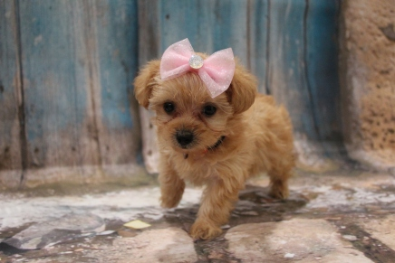 Sunshine Female CKC Yorkipoo $2000 Ready 3/15 SOLD MY NEW HOME JAX BEACH, FL 1lb 5oz 6W5D Old