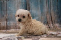 Thunder Male CKC Yorkipoo $2000 Ready 3/15 AVAILABLE 1LB 1 oz 6W5D Old