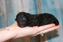Tiffany Female CKC Malshipoo $1750 Ready 4/30 AVAILABLE 6.9 oz 3 Days Old