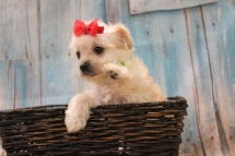 Windy Female CKC Yorkipoo $2000 Ready 3/15 HAS DEPOSIT MY NEW HOME ORLANDO, FL 1lb 4oz 6W5D Old
