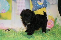 Zitto Female CKC Malshipoo $1750 Ready 3/31 HAS DEPOSIT MY NEW HOME JACKSONVILLE, FL1lb 10.5 oz 5 Weeks Old