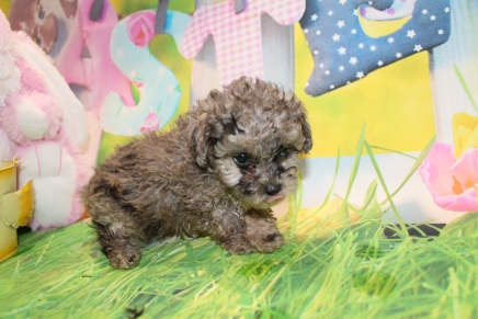 Joker (Dean O) Male CKC Toy Poodle $2000 Ready 3/27 HAS DEPOSIT MY NEW HOME KINGSLAND, GA 1 Lb 8 oz 7 Weeks Old