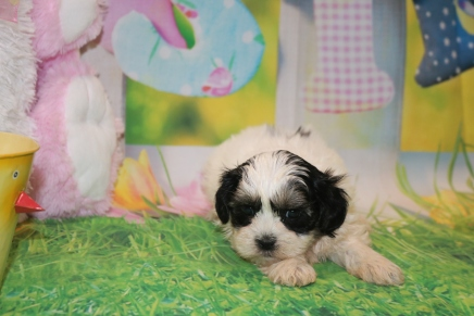 Linguine Female CKC Malshipoo $1750 Ready 3/31 SOLD MY NEW HOME ST AUGUSTINE, FL 2lbs 5 Weeks Old