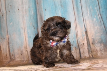 Freddie Mercury Male CKC Shihpoo $2000 Ready 3/14 SOLD MY NEW HOME JACKSONVILLE, FL 2 Lbs 5W2D Old