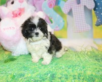 Janis Joplin (Tina Turner) Female CKC Shihpoo $2000 Ready 3/28 HAS DEPOSIT MY NEW HOME BETWEEN CA & FL 1lb 2.5 oz 8W4D Old