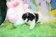 Joan Jett (Jet) Female CKC Shihpoo $2000 Ready 3/28 HAS DEPOSIT MY NEW HOME BETWEEN CA & FL 1lb 5.1 oz 8W4D Old