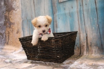 Lightning Male CKC Yorkipoo $2000 Ready 3/15 HAS DEPOSIT MY NEW HOME MIAMI, FL 1LB 3 oz 6W5D OLD