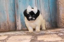 Pat Benatar Female CKC Shihpoo $2000 Ready 3/14 HAS DEPOSIT 1lb 6 oz 5W2D Old