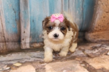 Stevie Nicks Female CKC Shihpoo $1750 Ready 3/14 HAS DEPOSIT1lb 11 oz 5W2D Old