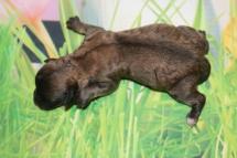 5 Bailey Female CKC Maltipoo 7.3oz days old (20)