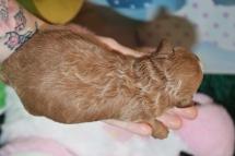 5 Charlie Male Mini Labradoodle 14.5oz 7 days old