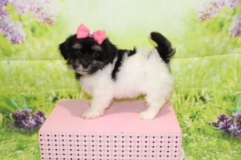 Hope Female CKC Havashire $2000 Ready 3/29 SOLD MY NEW HOME PONTE VEDRA BEACH, FL 2 lbs 5oz 7W3D old
