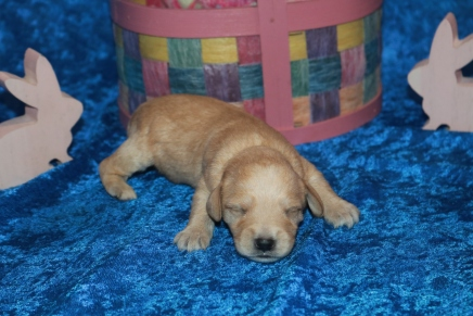 Arf Male CKC Schnoodle 14.5 oz Male CKC Schnoodle $2000 Ready 5/16 AVAILABLE Old