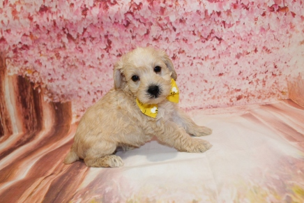 ARF (STEWIE) Male CKC Schnoodle$2000 Ready 5/16 HAS DEPOSIT MY MEW HOME MIDDLEBURG, FL 2lbs 8oz 5W1D old