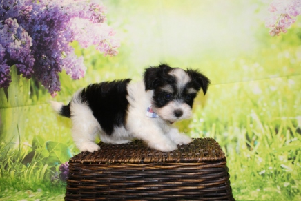 Bacon (Oakley) Male CKC Havanese $1750 Ready 4/20 SOLD! MY NEW HOME IS IN PONTE VEDRA, FL 1lb 11oz 7W3D old