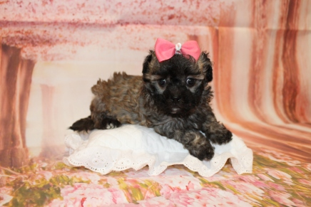 Bailey Female CKC Maltipoo $2000 Ready 5/14 HAS DEPOSIT! MY NEW HOME IS IN FORT MYERS, FL 2lb 1.5oz 6W3D old
