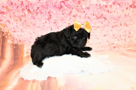 Banana Split Female CKC Malshipoo $1750 Ready 5/17 HAS DEPOSIT MY NEW HOME IS JACKSONVILLE, FL 1lb 9oz 5W1D old