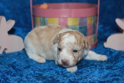 Bebop Female CKC Shihpoo $2000 Ready May 7th HAS DEPOSIT MY NEW HOME OLIVE BRANCH, MS 1LB 3OZ 3 WEEKS OLD