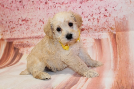Bingo (Remy) Male CKC Schnoodle $2000 Ready 5/16 HAS DEPOSIT MY NEW HOME TRINITY, FL 2lbs 13.5oz 5W1D old