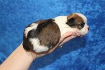 1 Brownie Female CKC Havashu 15.5oz 5W1D old (56)