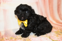 Bruno Male CKC Maltipoo $1750 HAS DEPOSIT MY NEW HOME PALM COAST, FL 2lbs 1.5oz 6W3D old