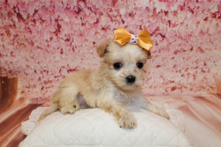 Bunny Female CKC Morkipoo $2000 Ready 5/12 HAS DEPOSIT MY NEW HOME JACKSONVILLE, FL 1lb 5oz 5W1D old