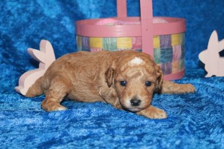 Charlie (Toby) Male Mini Labradoodle $2000 Ready 5/7 HAS DEPOSIT MY NEW HOME ORANGE1 lb 9.8 oz 2W5D Old PARK, FL