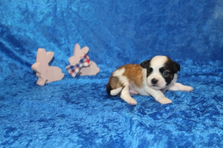 Chocolate Chip Male CKC Havashu $2000 Ready 5/9 AVAILABLE 2W3D old