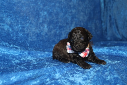 Gentle Male CKC Maltipoo $1750 Ready 5/8 HAS DEPOSIT MY NEW HOME ST AUGUSTINE, FL 1 LB 1oz 2W5D old