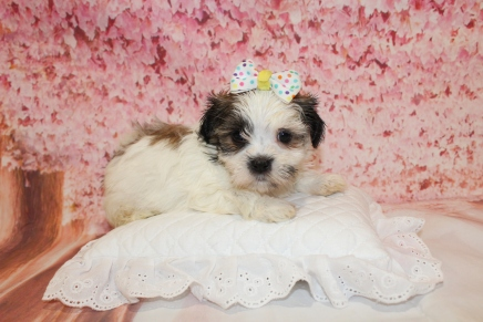 Gingersnap Female CKC $2000 Ready 5/9 HAS DEPOSIT MY NEW HOME ST AUGUSTINE, FL 2lbs 5oz 6W1D old