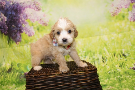 Gucci Male CKC Malshipoo $2000 Ready 4/30 HAS DEPOSIT PONTE VEDRA, FL 1lb 11.5oz 5W4D Old