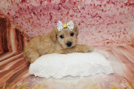 Hissy Female CKC Schnoodle $2000 Ready 5/16 HAS DEPOSIT MY NEW HOME ATLANTA, GA 10.5oz 5W1D old