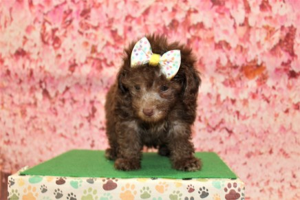 Joy (Lulu) Female CKC Maltipoo $2000 Ready 5/8 SOLD MY NEW HOME FLEMING ISLAND, FL 1lb 10.5oz 6W3D old