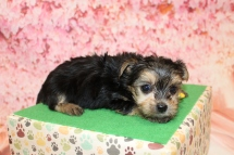 Kristoff Male CKC Havashire $2000 Ready 5/16 HAS DEPOSIT MY NEW HOME CHULUOTA, FL 1lb 8.5oz 5W1D old