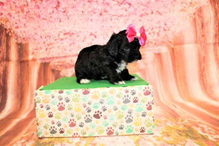 Lilo Female CKC Havapoo $2000 Ready 5/16 HAS DEPOSIT MY NEW HOME JACKSONVILLE, FL 1lb 13oz 5W1D old