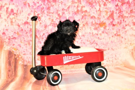 1 Love Female CKC Maltipoo 1lb 2oz 6W3D old (23)