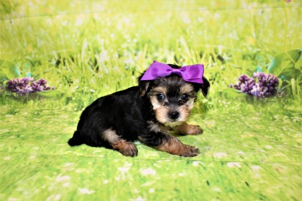 1 Luna Female CKC Morkie 1lb 10.5oz 6W1D old (24)