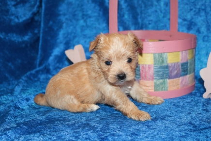 Meeko Male CKC Morkie $2000 Ready 4/27 HAS DEPOSIT MY NEW HOME IS LONDON! 1 lb 3.9 oz 4W2D Old