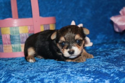 Mighty Dog Male CKC Havashire a/k/a Yorkinese $2000 Ready 5/7 AVAILABLE1 Lb 5.5 oz 3 Weeks
