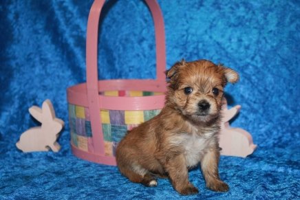 Mikey (Philo) Male CKC Morkie HAS DEPOSIT 1 lb 3.2 oz 4W2D Old