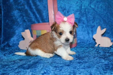 Myka Female CKC Morkie $2000 Ready 4/26 HAS DEPOSIT MY NEW HOME FORT LAUDERDALE, FL 1 lb 5.3 oz 4W2D Old