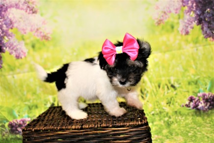 Pancake (Oreo) Female CKC Havanese $1750 Ready 4/20 SOLD MY NEW HOME IS IN PONTE VEDRA, FL 1lb 6oz 7W3D old