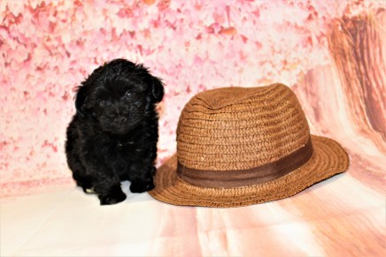 Peace Male CKC Maltipoo $1750 Ready 5/8 HAS DEPOSIT MY NEW HOME WINDERMERE, FL 6oz 6W3D old