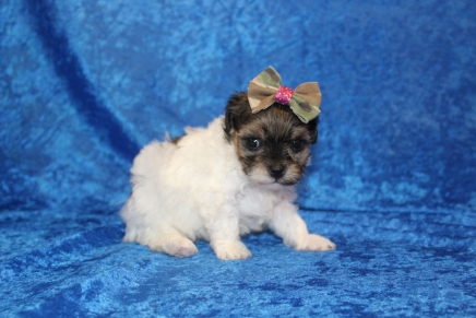 Pippy Female Havapoo $2000 Ready 4/26 HAS DEPOSIT MY NEW HOME ST JOHNS, FL 15.5 oz 3W3D old