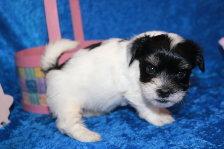 Porkchop Male CKC Havanese $1750 Ready 4/20 HAS DEPOSIT MY NEW HOME IS IN JAX, FL! 2 lb 1 oz 5W1D Old