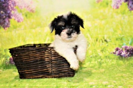 Porkchop (Pedro) Male CKC Havanese $1750 Ready 4/20 SOLD MY NEW HOME IS IN JAX, FL 2lb 5.5oz 7W3D old
