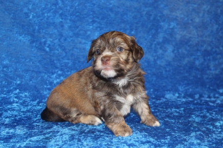Reed Male CKC Havanese $2000 Ready 4/30 AVAILABLE 2lb 4oz 3 weeks 5 days old