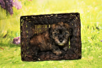 Rory (Finn) Male CKC Havanese $2000 Ready 4/30 HAS DEPOSIT MY NEW HOME ATLANTA, GA 2lbs 5.5oz 5W4D old