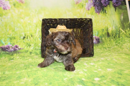 Rusty Male CKC Havanese $2000 Ready 4/30 SOLD MY NEW HOME CLEARWATER, FL 2lbs 9.5oz 5W4D old